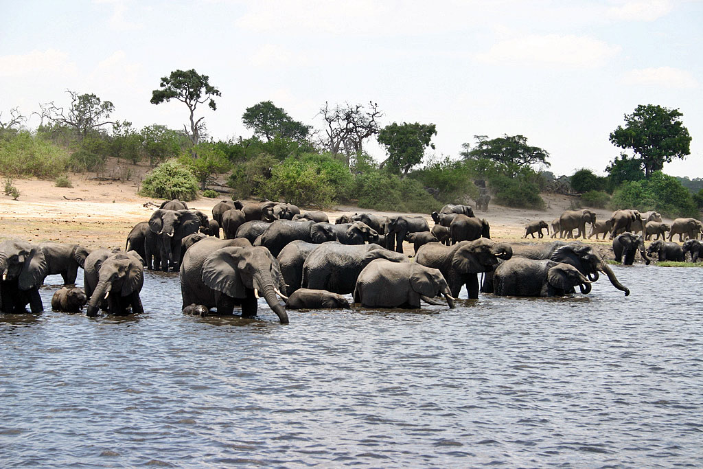Lower Zambezi Herd of Elephants