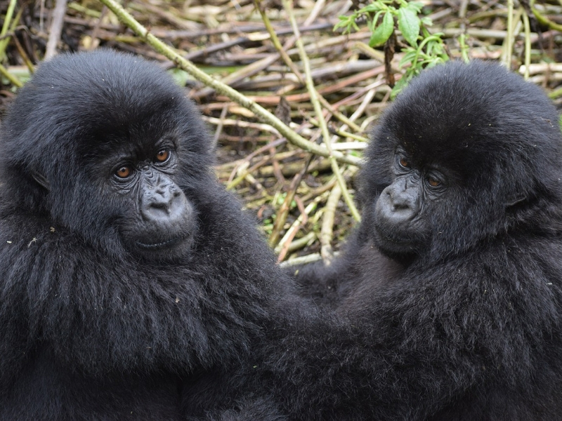 7 Days Gorilla Tracking Uganda