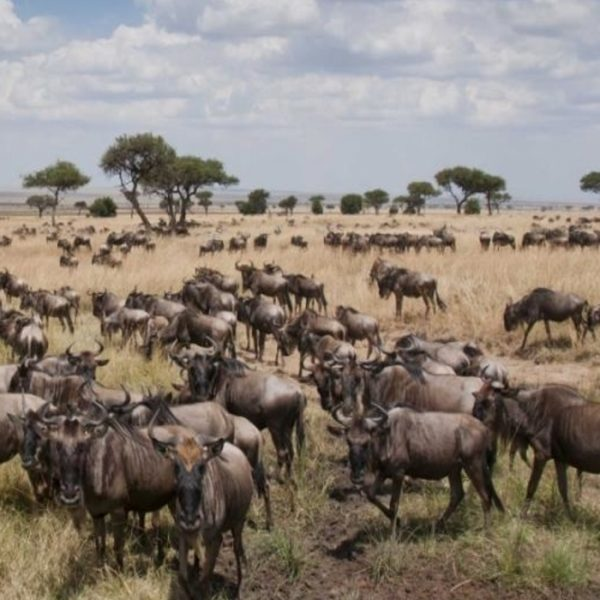 Great migration in Masai Mara, Kenya