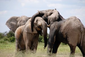 team of African elephants