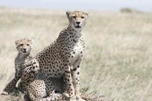 cheetah in Kogatende, Serengeti