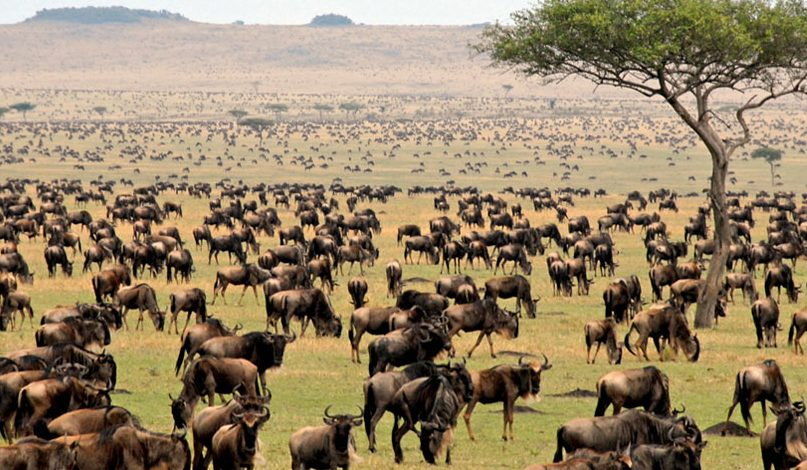 hooves in Ndutu during great migration